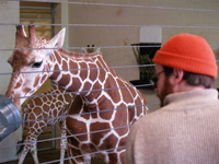 Man + giraffe