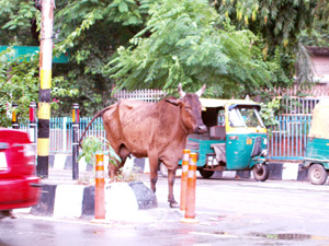 Why did the cow cross the road?